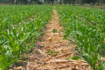 Un estudio de la UCO y el IFAPA revela que el suelo de cultivo retiene más agua si se evita el laboreo